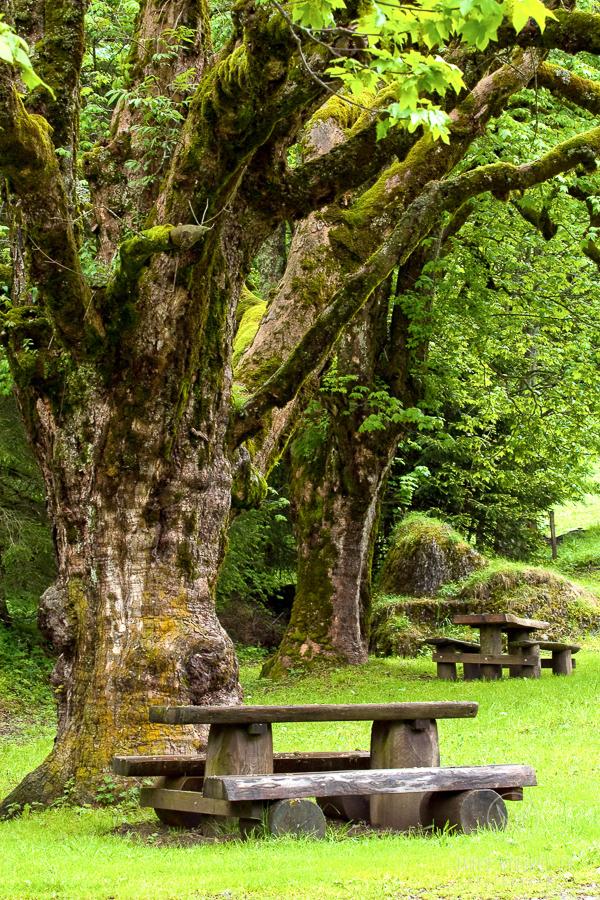 tree in switzerland