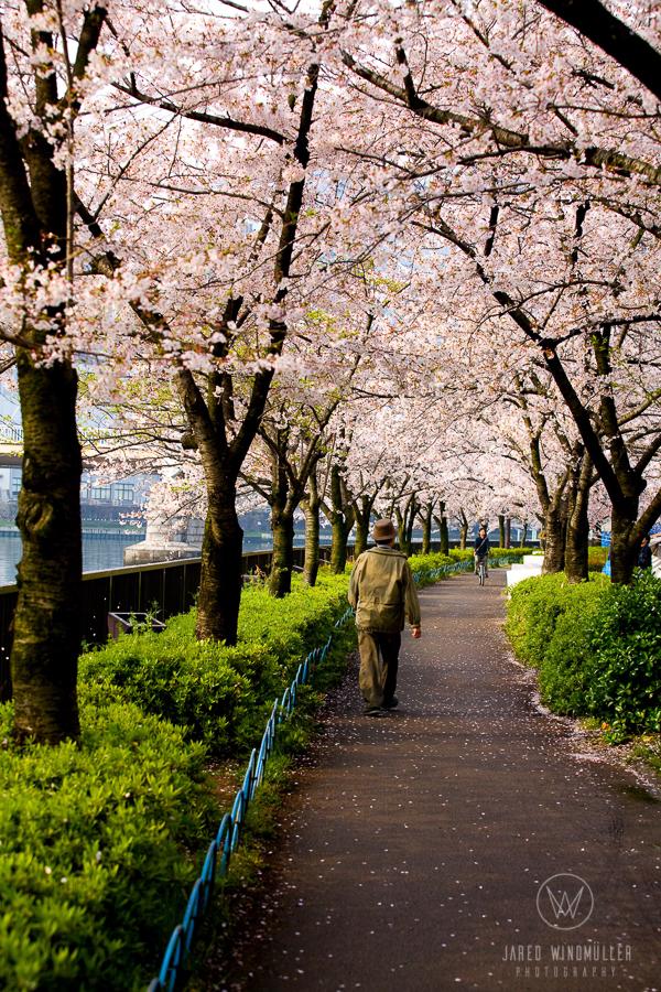 Sakura in osaka