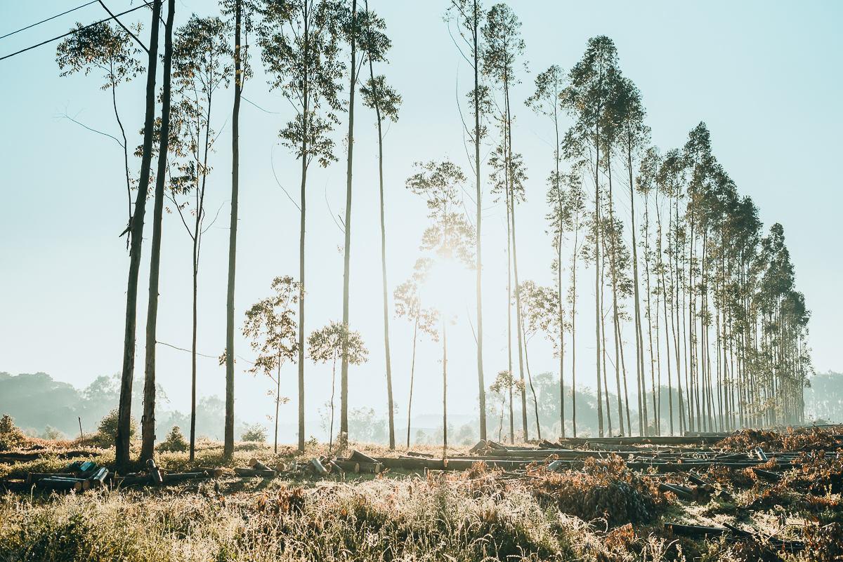 Eucaliptos enfileirados numa manhã de inverno