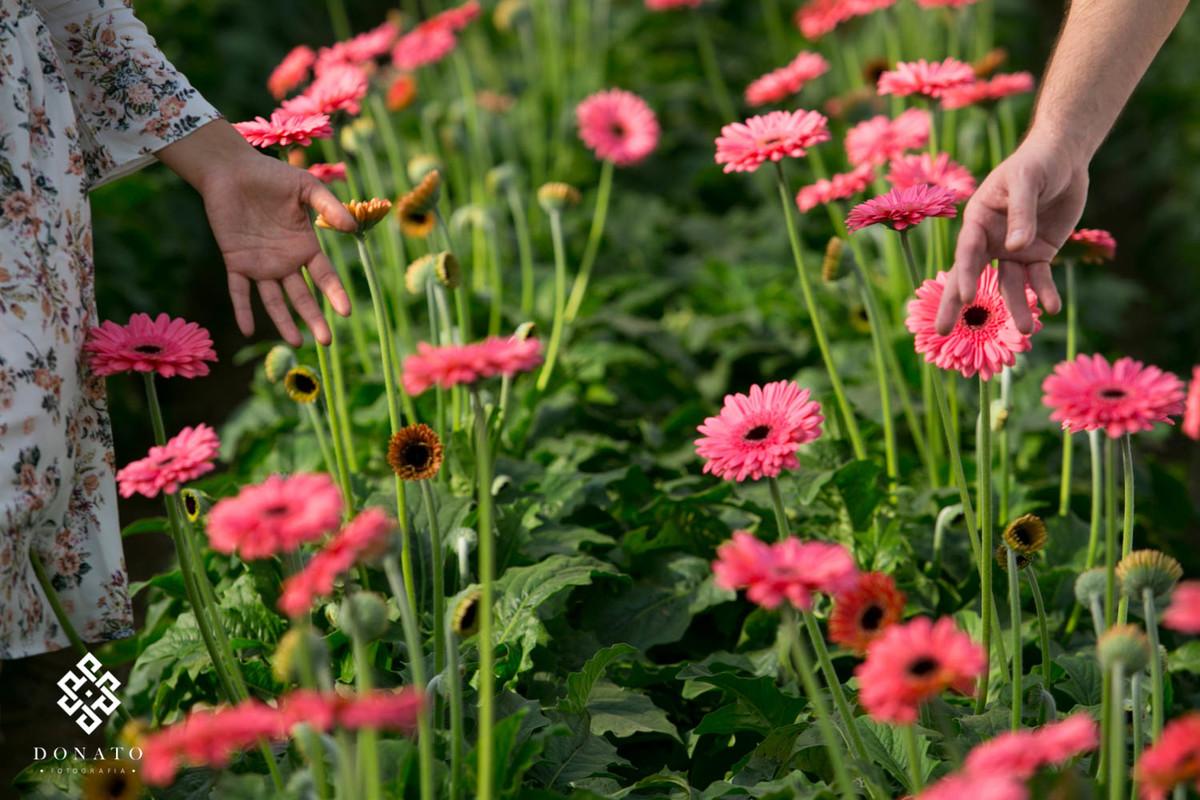 Detalhes das mão passando pelo campo de lindas margaridas de cor rosa forte, os campos de margaridas são comuns em holambra-sp.