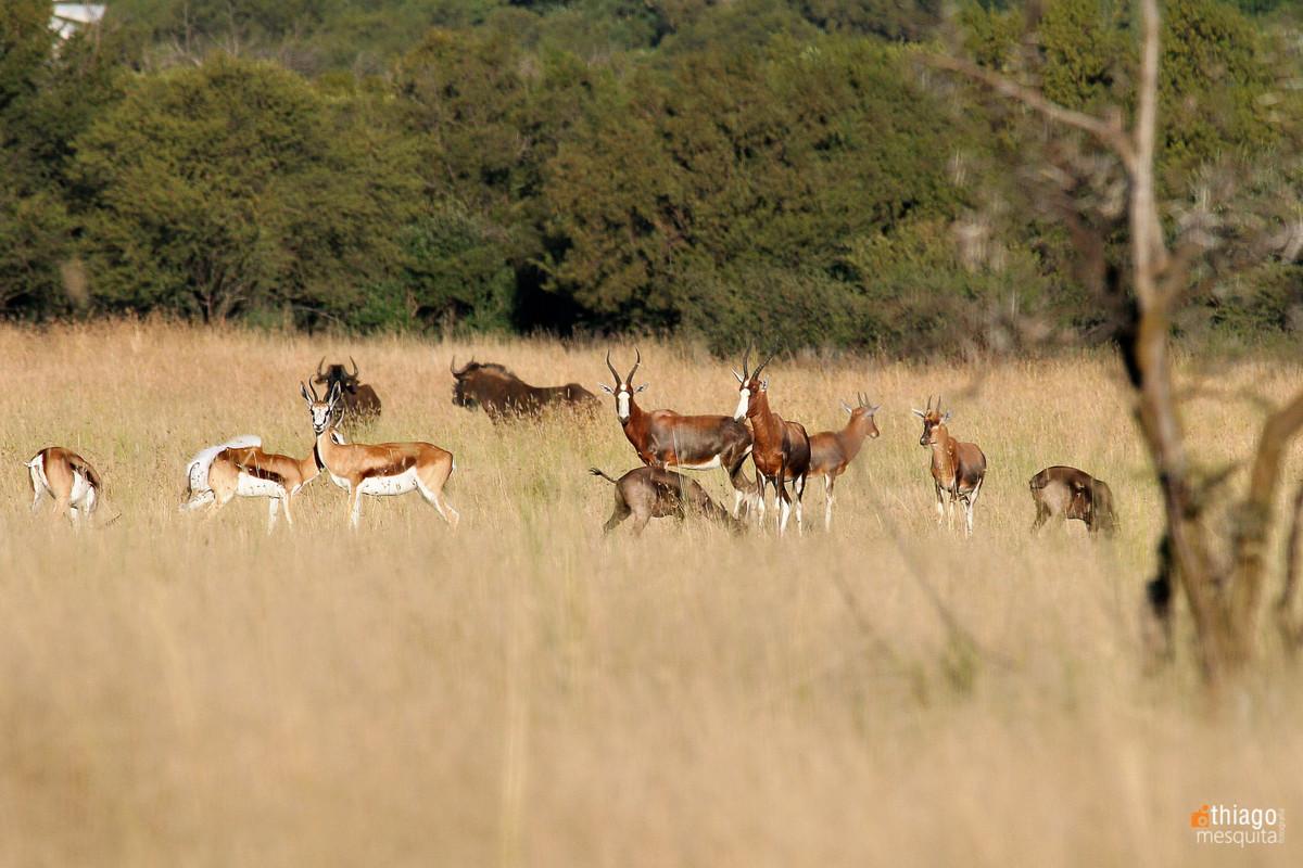 safari in bluemfontein - south africa