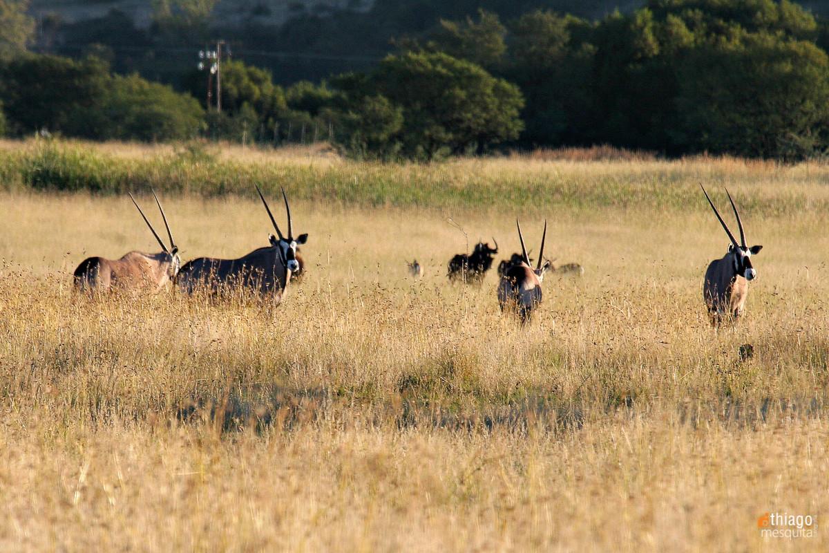 safari em bluemfontein - south africa