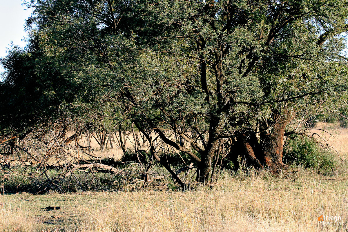 bluemfontein - south africa trees