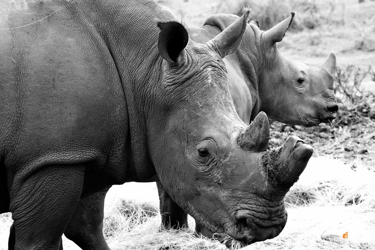 safari na africa do sul - south african safari rinoceronte