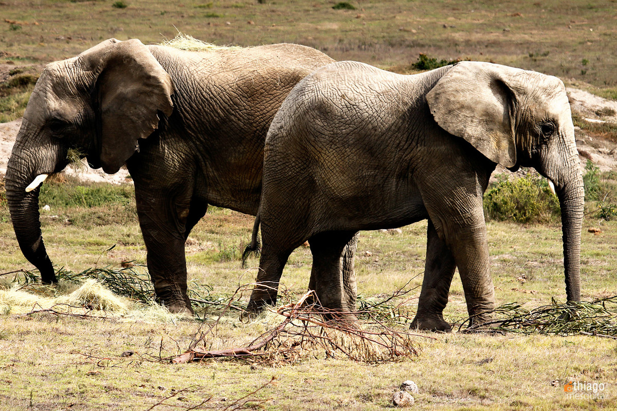 safari na africa do sul - south african safari elefante