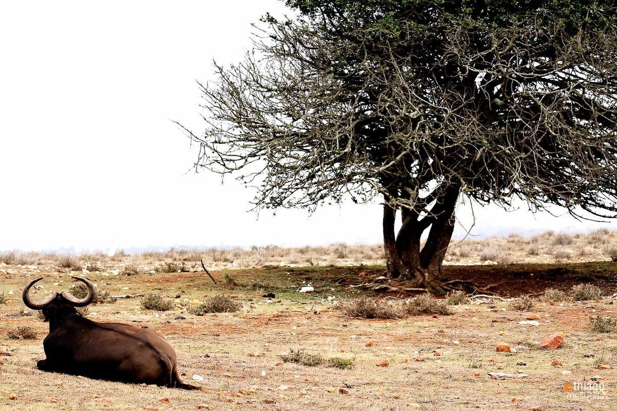 safari na africa do sul - south african safari bufalo