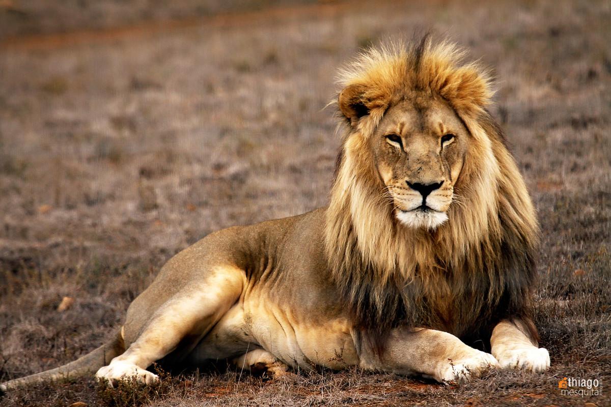 safari na africa do sul - south african safari lion - leão