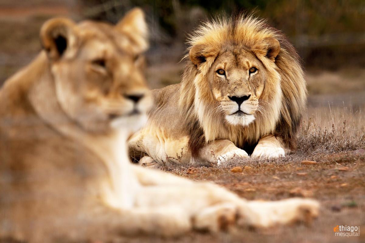 safari na africa do sul - south african safari lions
