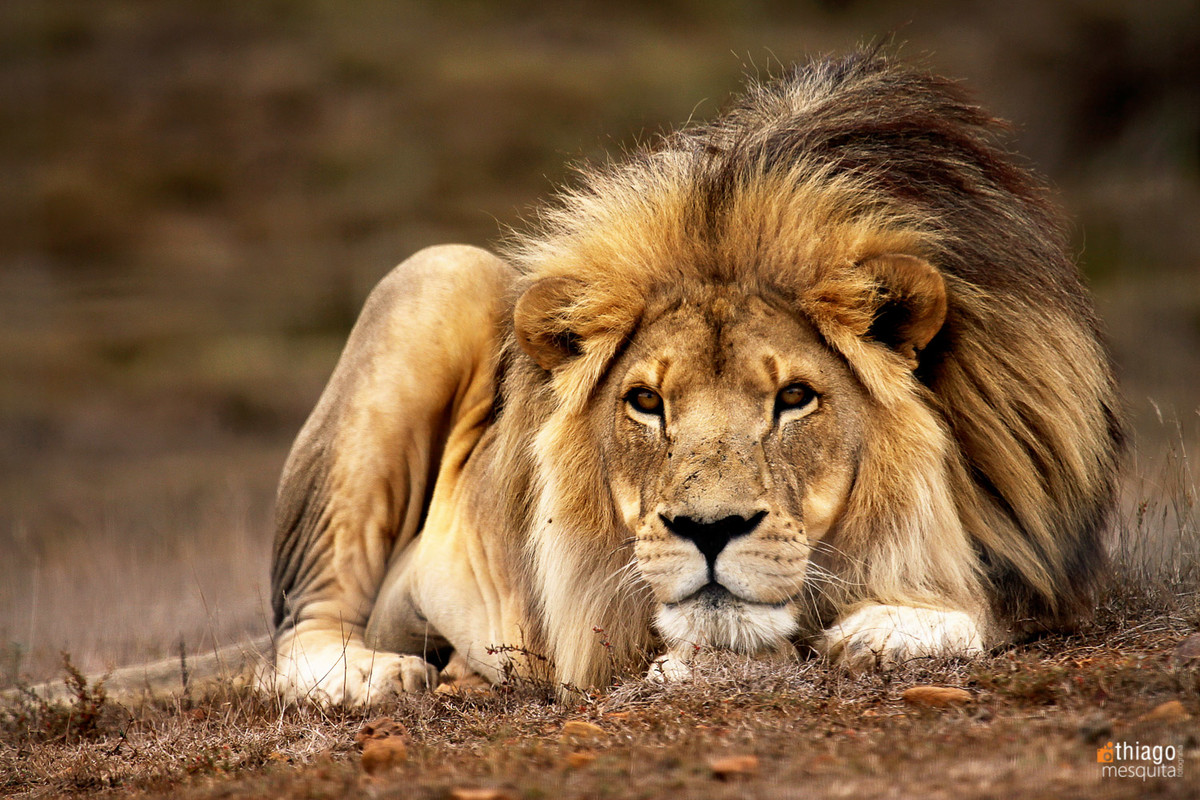 safari na africa do sul - south african safari leão