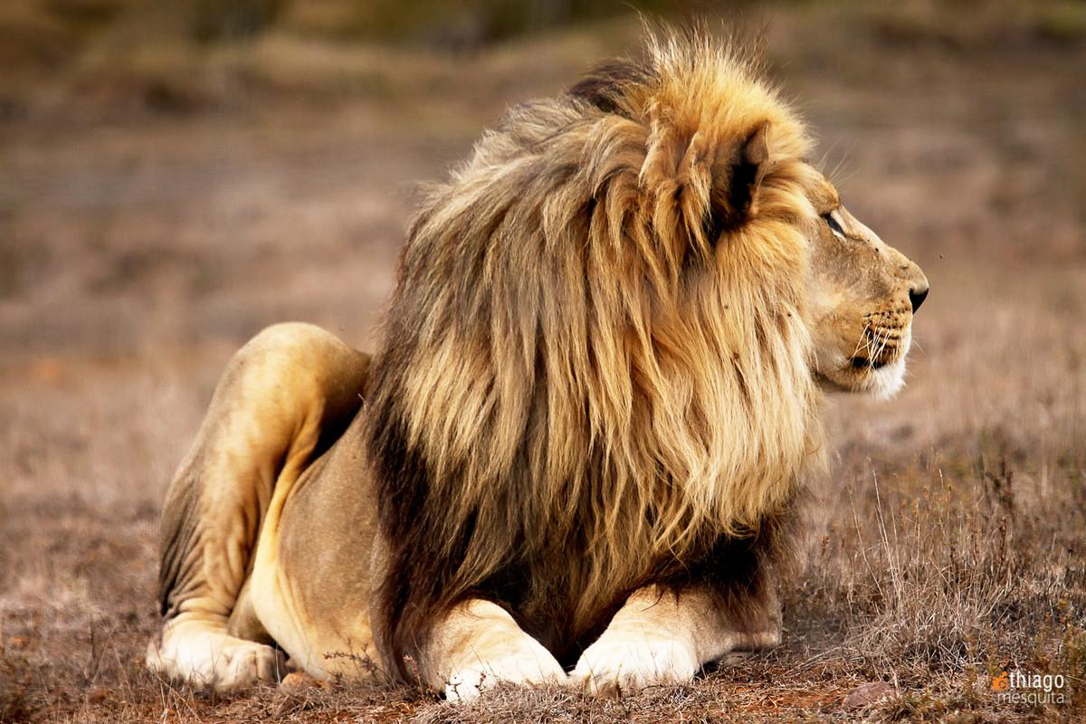 leão em safari na africa do sul - south african safari