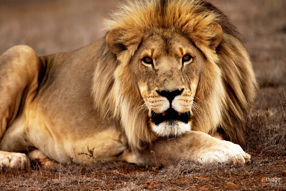 angry lion - safari na africa do sul - south african safari