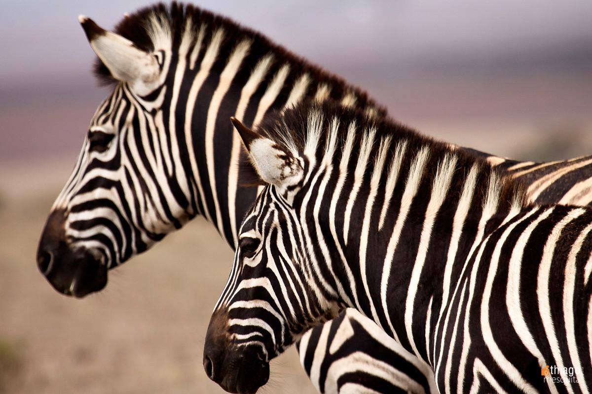 safari na africa do sul - south african safari zebra