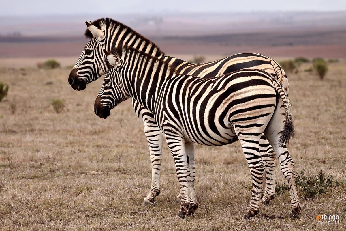 zebra safari na africa do sul - south african safari