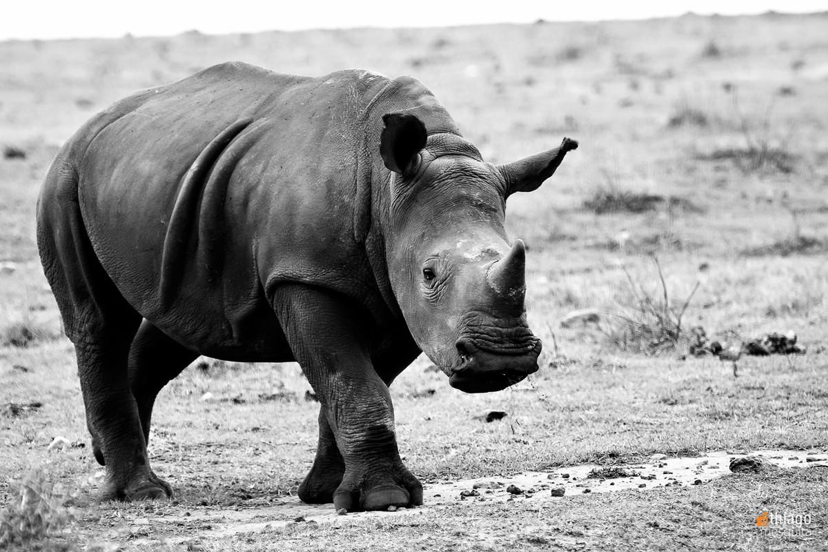 hipopótamo - safari na africa do sul - south african safari