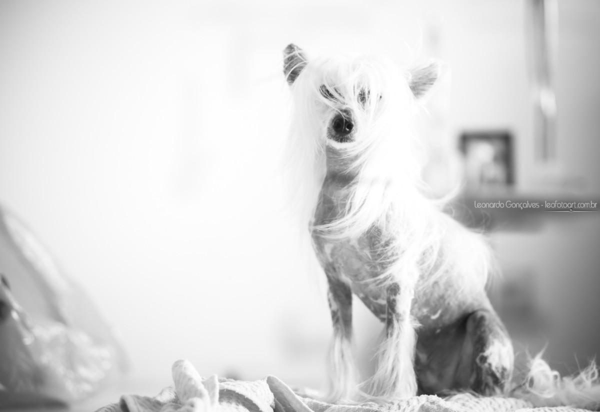 Imagem capa - Clicando Pets - O exótico e elegante Cão de Crista Chinês por Leonardo Gonçalves