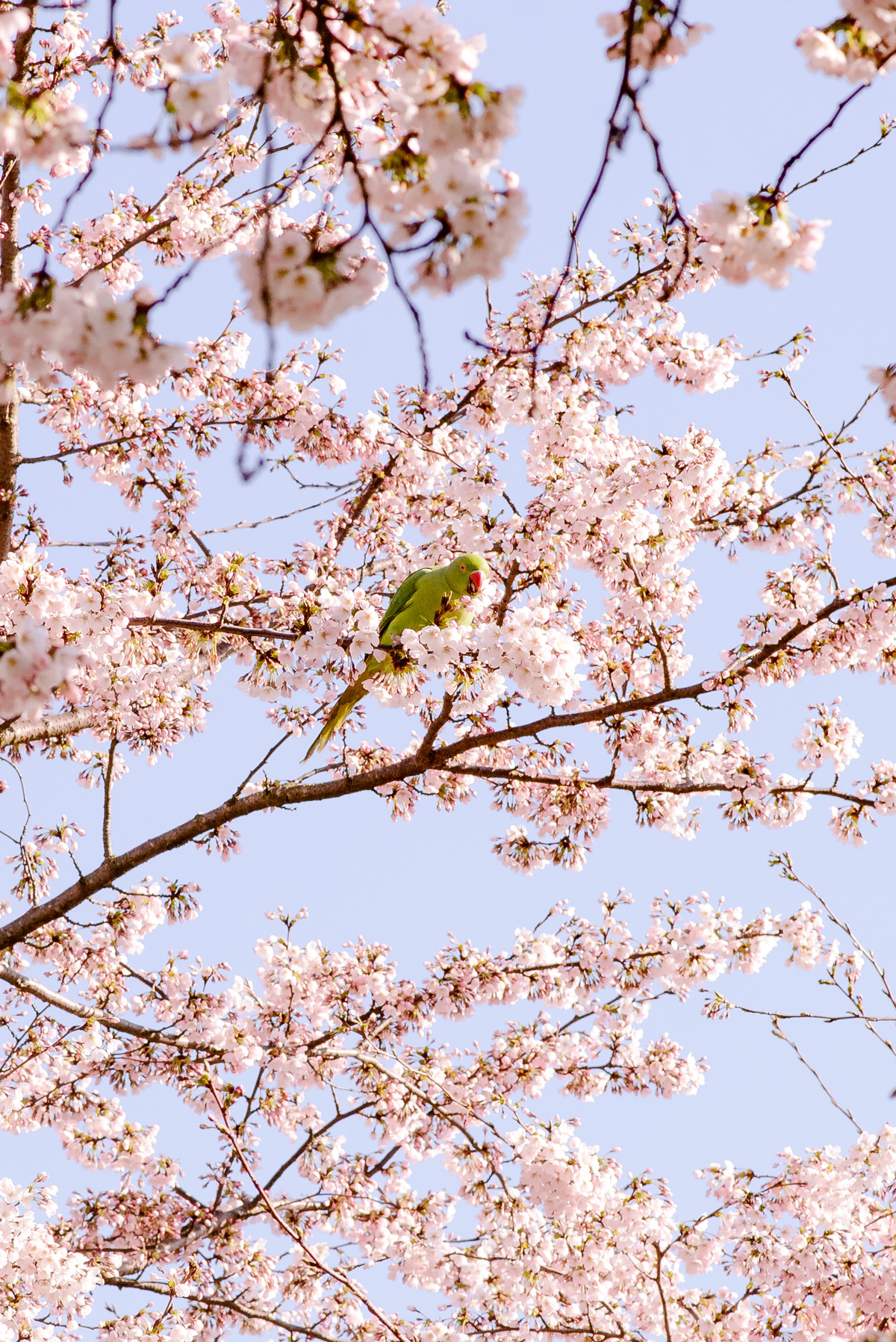 Imagem capa - 5 tips for Cherry Blossom pictures in Amsterdam por Joanna Pantigoso