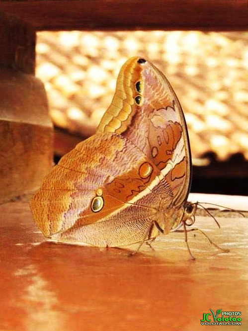 Imagem capa - Borboleta Dourada por JC Volotão