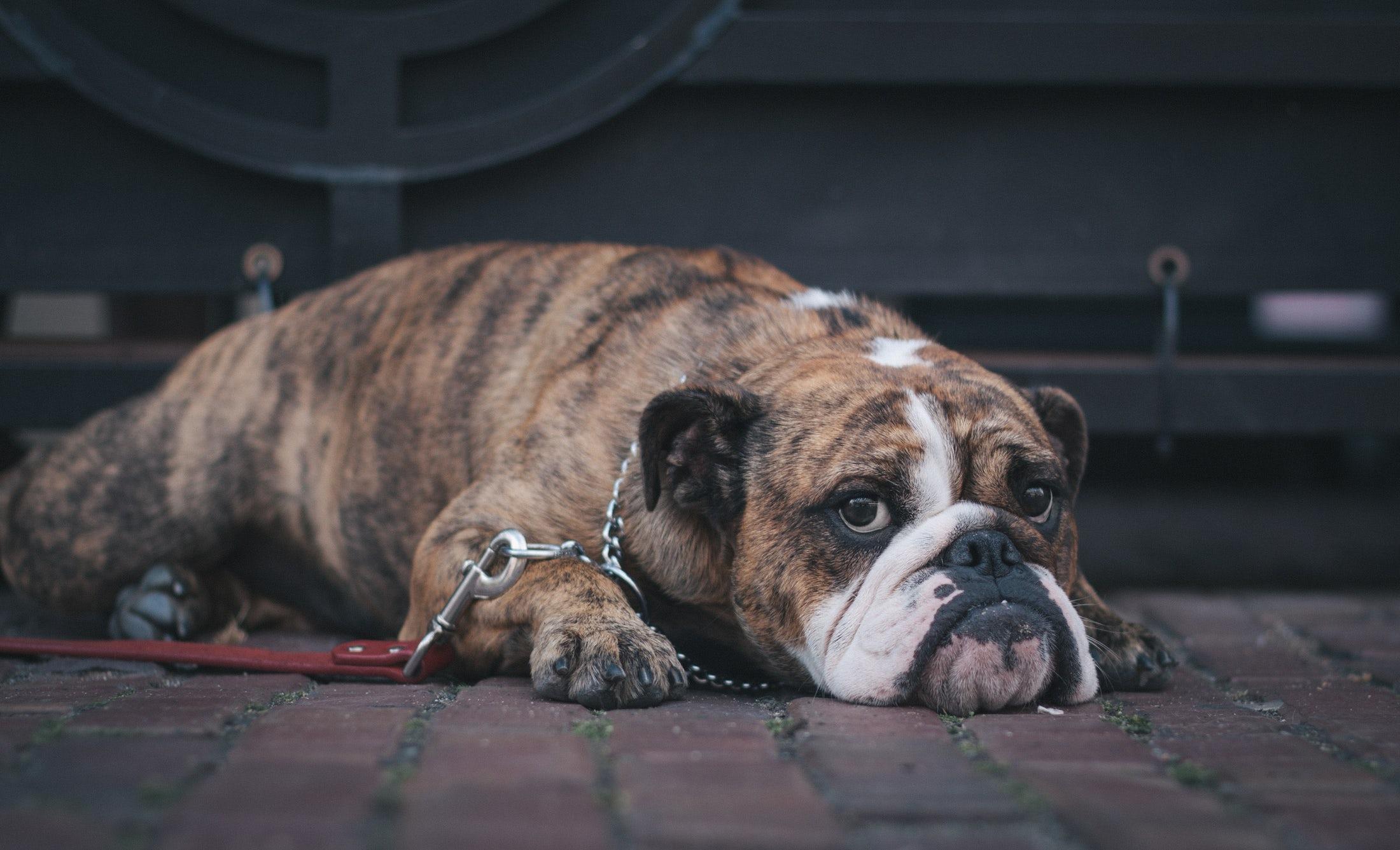 Imagem capa - Cachorrinho bravo? Saiba como deixá-lo mais calmo! por Cupcake by Alboom