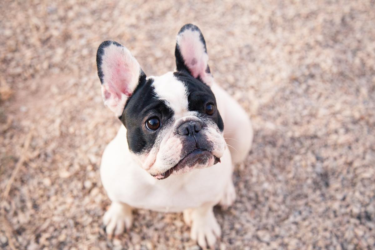 Imagem capa - Coisas que você deve saber antes de ter um bulldog francês por Samara Medeiros Fotografia